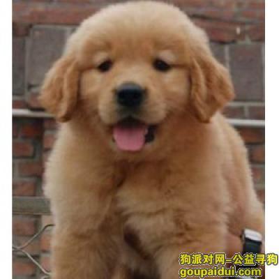 ,金毛犬狗粮,它是一只非常可爱的宠物狗狗,希望它早日回家,不要变成流浪狗。