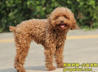 寻狗启示,前面开路的哈尼狗狗,它是一只非常可爱的宠物狗狗,希望它早日回家,不要变成流浪狗。