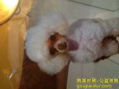 攀枝花寻狗启示,攀枝花市炳草岗走失的白色贵宾,它是一只非常可爱的宠物狗狗,希望它早日回家,不要变成流浪狗。