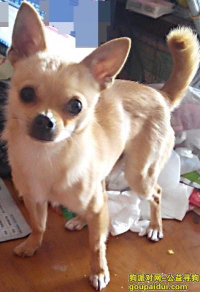 日照找狗,丢失吉娃娃。莒县,它是一只非常可爱的宠物狗狗,希望它早日回家,不要变成流浪狗。