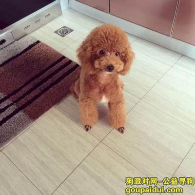 【乐山找狗】,犍为县寻狗锦绣华庭小区门口丢失棕色泰迪,它是一只非常可爱的宠物狗狗,希望它早日回家,不要变成流浪狗。