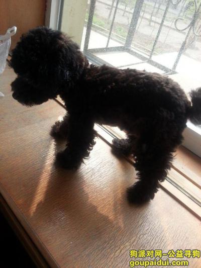 寻狗启示,大港油田祥和小区走失铁包金色贵宾全身黑色嘴部和四肢有褐色毛发,它是一只非常可爱的宠物狗狗,希望它早日回家,不要变成流浪狗。