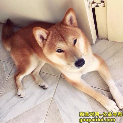 寻狗启示,广州找柴犬卡卡酬谢15年2月10日番禺广场附近丢,它是一只非常可爱的宠物狗狗,希望它早日回家,不要变成流浪狗。