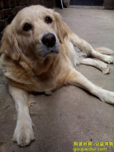 寻狗启示,本人有一只五岁母金毛,前段时间不慎走失,它是一只非常可爱的宠物狗狗,希望它早日回家,不要变成流浪狗。