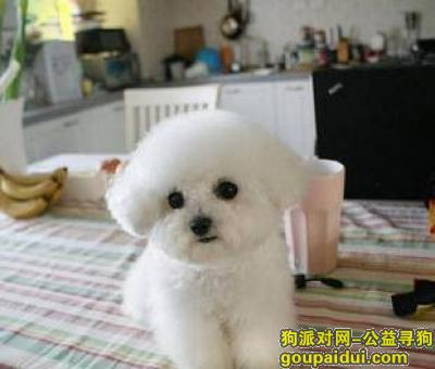 寻狗启示,比熊幼犬吃什么狗粮好,它是一只非常可爱的宠物狗狗,希望它早日回家,不要变成流浪狗。