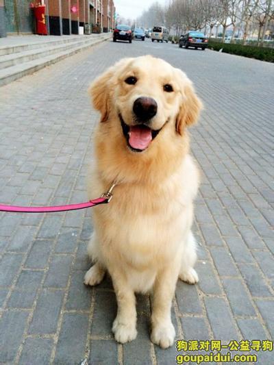 寻狗启示,金毛自制狗粮配方,它是一只非常可爱的宠物狗狗,希望它早日回家,不要变成流浪狗。