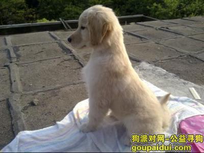 寻狗启示,自制金毛狗粮,它是一只非常可爱的宠物狗狗,希望它早日回家,不要变成流浪狗。
