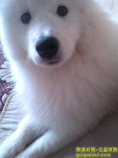 【昆明找狗】,我家萨摩耶2015年3月29日下午在春晖小区门口被偷,狗狗名字叫宝宝 公狗 一岁  狗狗特征鼻头上有抓痕,它是一只非常可爱的宠物狗狗,希望它早日回家,不要变成流浪狗。