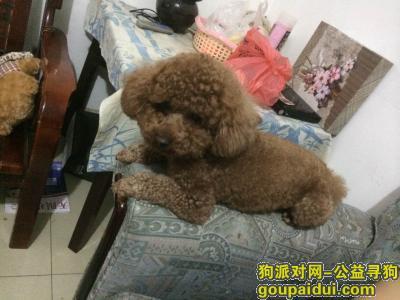 孝感寻狗启示,棕色泰迪犬小型犬体重8斤多,它是一只非常可爱的宠物狗狗,希望它早日回家,不要变成流浪狗。