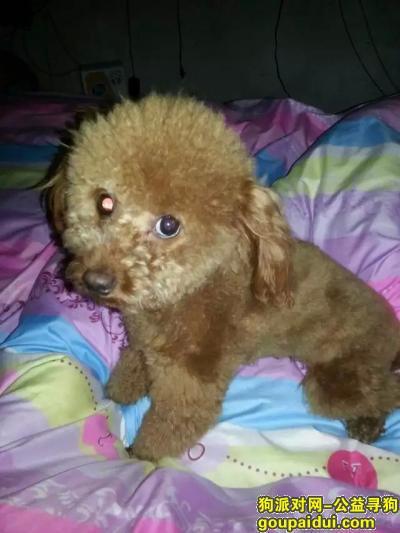 乐清寻狗网,柳市镇长江路泰迪犬丢失。,它是一只非常可爱的宠物狗狗,希望它早日回家,不要变成流浪狗。