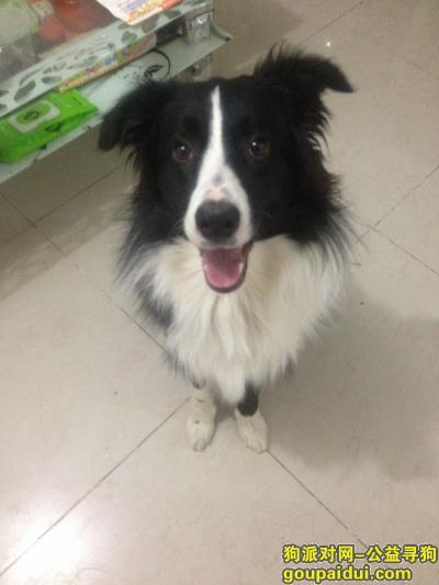 【廊坊找狗】,河北省燕郊北欧小镇门口黑白色边境牧羊犬走失,它是一只非常可爱的宠物狗狗,希望它早日回家,不要变成流浪狗。
