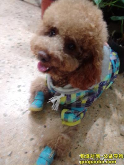 鸡西市步行街丢失一直泰迪犬,它是一只非常可爱的宠物狗狗,希望它早日回家,不要变成流浪狗。