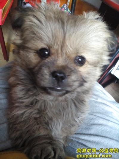 ,寻找小狗狗恭喜不到三个月,它是一只非常可爱的宠物狗狗,希望它早日回家,不要变成流浪狗。