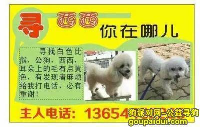,寻找西西白色比熊男生,它是一只非常可爱的宠物狗狗,希望它早日回家,不要变成流浪狗。