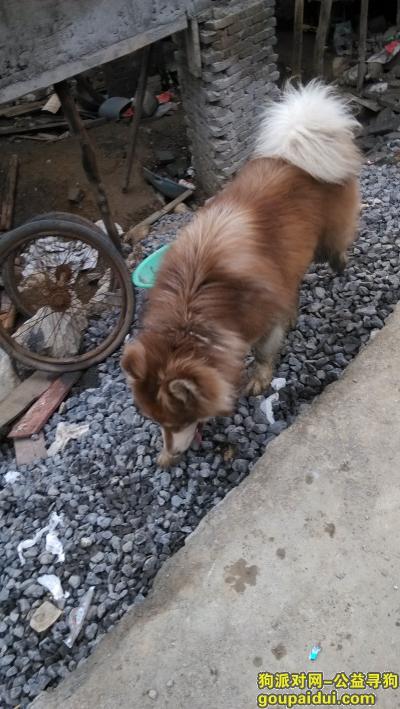 寻狗启示,【毕节个人晒狗】织金看到一只阿拉斯加,它是一只非常可爱的宠物狗狗,希望它早日回家,不要变成流浪狗。