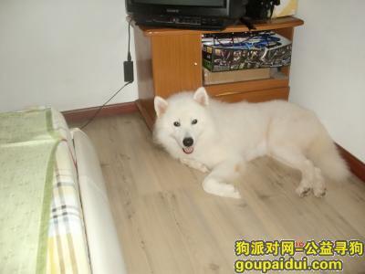 佛山找狗,佛山市禅城区惠景城里走失白色萨摩和棕色松狮一只,它是一只非常可爱的宠物狗狗,希望它早日回家,不要变成流浪狗。