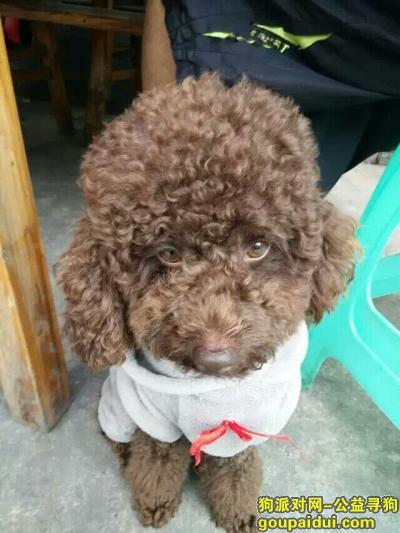 昭通寻狗启示,寻狗,泰迪,掉了半年多了,现在两岁多了,巧克力色。,它是一只非常可爱的宠物狗狗,希望它早日回家,不要变成流浪狗。