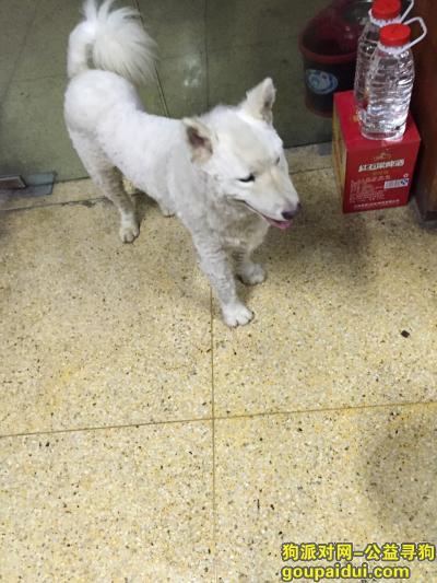 绍兴找狗主人,绍兴兰亭娄宫捡到一只白色萨摩耶,急求狗主人!,它是一只非常可爱的宠物狗狗,希望它早日回家,不要变成流浪狗。