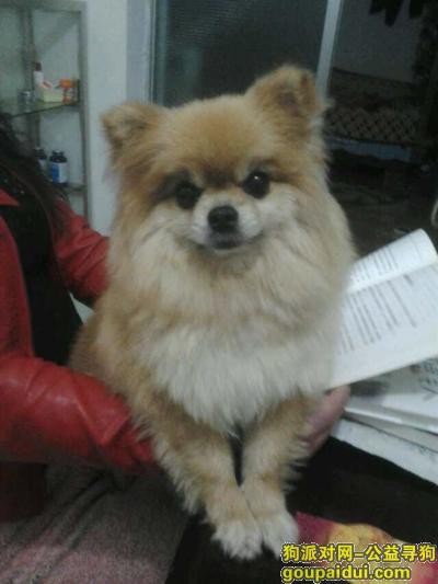 昭通找狗,昭通市昭阳区环东路丢失棕色博美,寻狗Kko Kko,它是一只非常可爱的宠物狗狗,希望它早日回家,不要变成流浪狗。