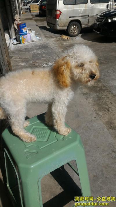 瑞安寻狗启示,瑞安汀田塘河大桥边走失白色黄耳朵泰迪,它是一只非常可爱的宠物狗狗,希望它早日回家,不要变成流浪狗。