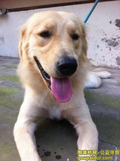 泸州寻狗主人,金毛公狗很活泼会握手 喜欢站起来抱人很热情,它是一只非常可爱的宠物狗狗,希望它早日回家,不要变成流浪狗。