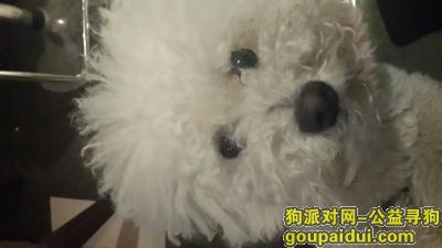 寻狗启示,急寻走丢的成年白色比熊,它是一只非常可爱的宠物狗狗,希望它早日回家,不要变成流浪狗。