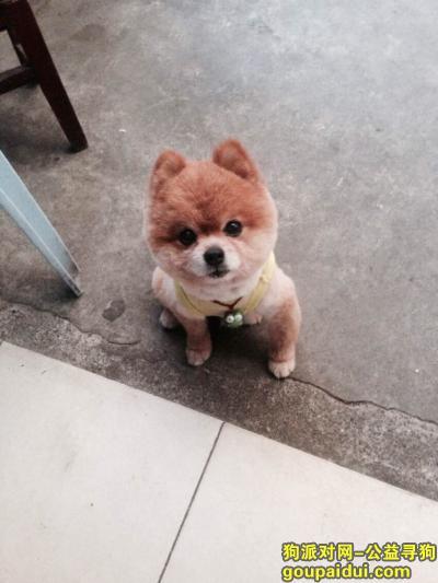 """寻狗启示,圆头 雄性 博美 名叫""""憨坨"""",它是一只非常可爱的宠物狗狗,希望它早日回家,不要变成流浪狗。"""
