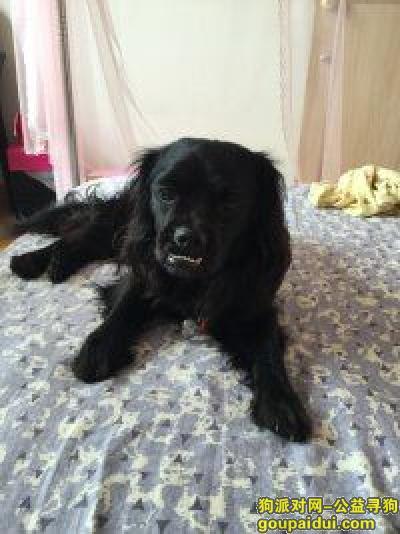 【海口找狗】,寻找黑色串串狗一只,大耳朵,它是一只非常可爱的宠物狗狗,希望它早日回家,不要变成流浪狗。