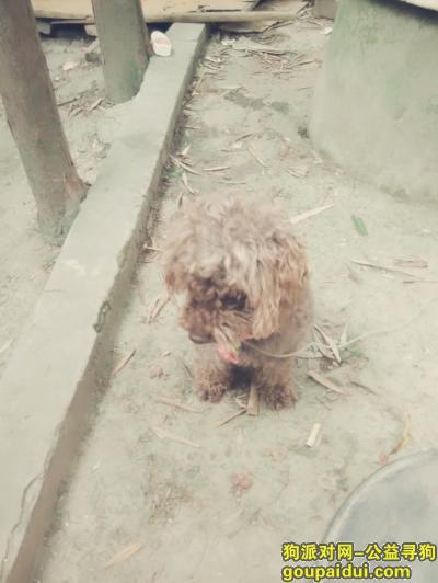 【上海捡到狗】,我哥哥昨天晚上捡到一只泰迪犬体形较大乖巧可爱,它是一只非常可爱的宠物狗狗,希望它早日回家,不要变成流浪狗。
