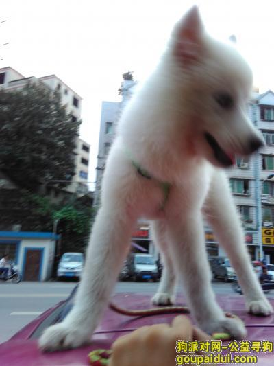 ,全身白色的萨摩耶,名叫凯迪,它是一只非常可爱的宠物狗狗,希望它早日回家,不要变成流浪狗。