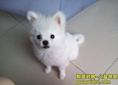【重庆找狗】,寻狗启示,小博美,纯白色的,它是一只非常可爱的宠物狗狗,希望它早日回家,不要变成流浪狗。