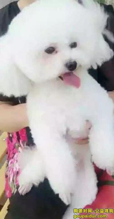 凉山寻狗网,2015年9月18日晚八点多湿地公园二期丢失白色贵宾,请好心人帮帮忙,它是一只非常可爱的宠物狗狗,希望它早日回家,不要变成流浪狗。
