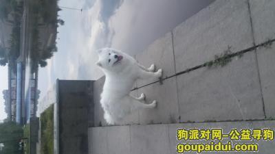 承德找狗,寻狗启示,白色萨摩耶大狗,它是一只非常可爱的宠物狗狗,希望它早日回家,不要变成流浪狗。