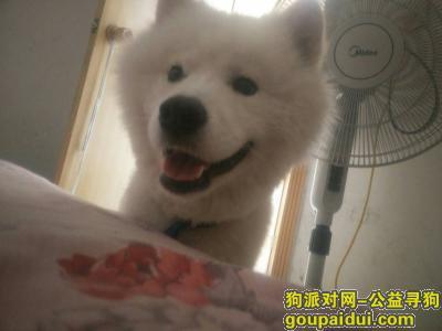 ,寻找1岁半公萨摩耶10月9号早上走失,它是一只非常可爱的宠物狗狗,希望它早日回家,不要变成流浪狗。