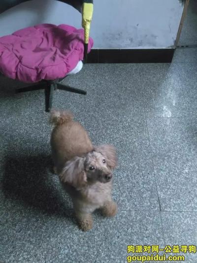 丽水寻狗网,丽水遂昌寻一只毛发发白的棕色贵宾犬,它是一只非常可爱的宠物狗狗,希望它早日回家,不要变成流浪狗。