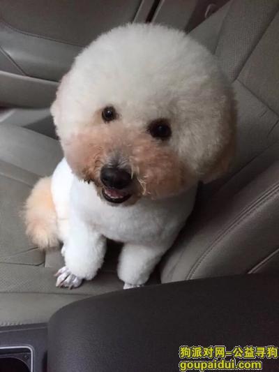 驻马店找狗,寻找一个2岁的比熊、公狗,它是一只非常可爱的宠物狗狗,希望它早日回家,不要变成流浪狗。