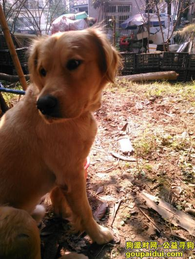 宜昌寻狗主人,在湖北省宜昌市伍家岗捡到一只金毛,它是一只非常可爱的宠物狗狗,希望它早日回家,不要变成流浪狗。