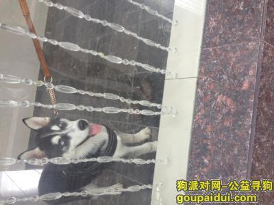 恩施寻狗启示,哈士奇不见了,它是一只非常可爱的宠物狗狗,希望它早日回家,不要变成流浪狗。