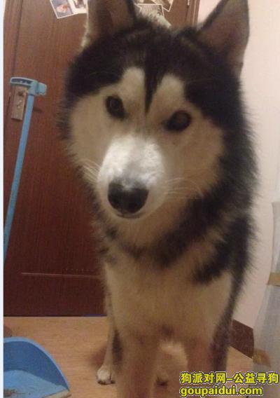 清远找狗,很重要找狗,我家的阿拉斯加,它是一只非常可爱的宠物狗狗,希望它早日回家,不要变成流浪狗。