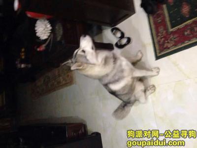 【上海捡到狗】,哈士奇脖子上有警犬字样的项圈,它是一只非常可爱的宠物狗狗,希望它早日回家,不要变成流浪狗。
