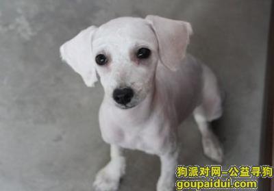 寻狗启示,寻找白色贵宾必有重谢。,它是一只非常可爱的宠物狗狗,希望它早日回家,不要变成流浪狗。