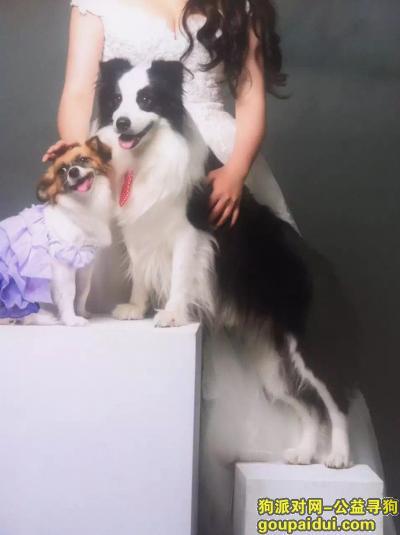 寻狗启示,【沈阳寻狗 酬金:5000元】11月22日走失边境牧羊犬,它是一只非常可爱的宠物狗狗,希望它早日回家,不要变成流浪狗。
