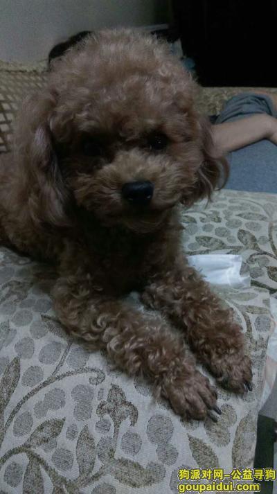 寻狗启示,寻找2岁雌性泰迪狗狗,它是一只非常可爱的宠物狗狗,希望它早日回家,不要变成流浪狗。