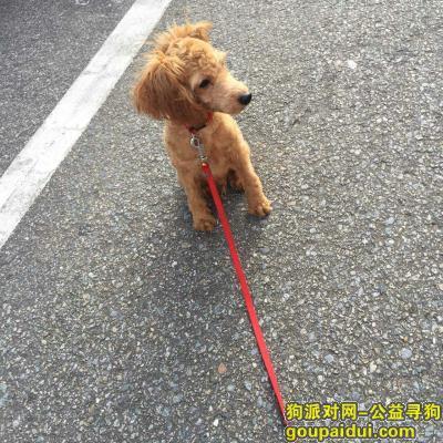 寻狗启示,天河燕岭路银锭塘后街走失迷你小贵宾名逗比,急寻!!!!!,它是一只非常可爱的宠物狗狗,希望它早日回家,不要变成流浪狗。