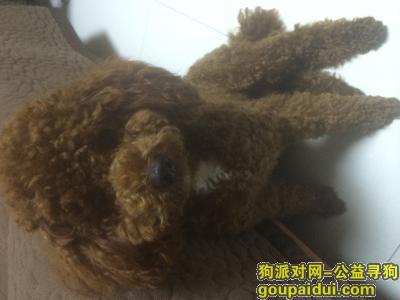 寻狗启示,寻找在盐城市城南新区紫薇花园附近走失的棕红色泰迪狗狗,,它是一只非常可爱的宠物狗狗,希望它早日回家,不要变成流浪狗。