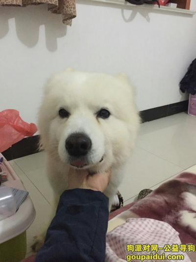 沭阳寻狗启示,寻爱犬萨摩耶名叫宝贝,它是一只非常可爱的宠物狗狗,希望它早日回家,不要变成流浪狗。