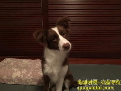 绍兴捡到狗,捡到小边牧在绍兴中医院对面 12月2日晚,它是一只非常可爱的宠物狗狗,希望它早日回家,不要变成流浪狗。