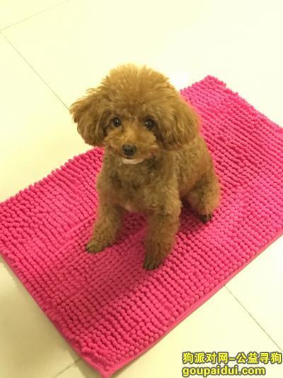 【广州找狗】,广州荔湾西村寻狗--红棕色贵宾狗女下巴和胸前有白毛,它是一只非常可爱的宠物狗狗,希望它早日回家,不要变成流浪狗。