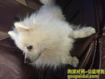 ,江西萍乡亚都宾馆附近捡到白色博美一只,它是一只非常可爱的宠物狗狗,希望它早日回家,不要变成流浪狗。