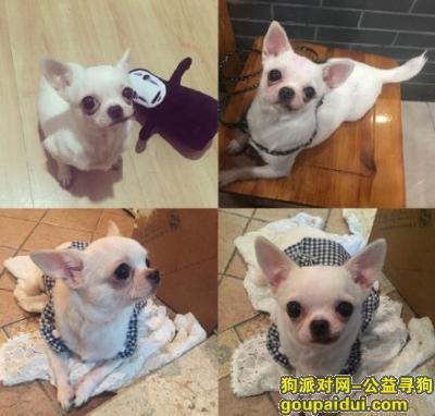 丢失一只白色吉娃娃,它是一只非常可爱的宠物狗狗